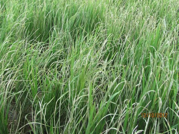 Leaf folder, Rice pests of DSS, croppest DSS